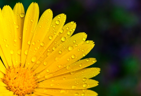 Yellow marigold with droplets closeup photo photo