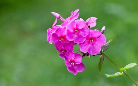 Blossoming bright pink phlox flowers in a garden photo