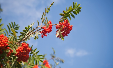 Branch of a rowan-tree with bright red berries against the blue sky photo