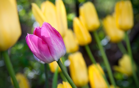 One pink tulip flower between yellow Stock Photo - 15471077