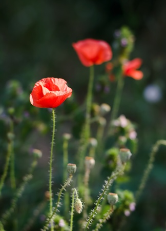 evenings: Wild bright red poppies on the evenings field