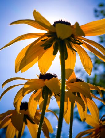 secreted: Rudbeckia flowers with spider hiding beneath