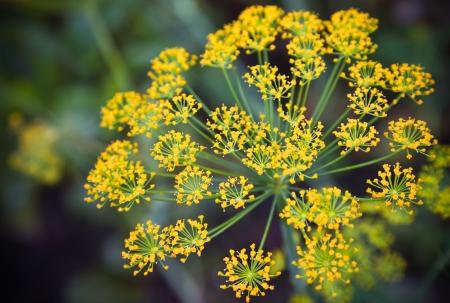 Close-up photo with shallow Depth of field of yellow dill flower umbels Stock Photo
