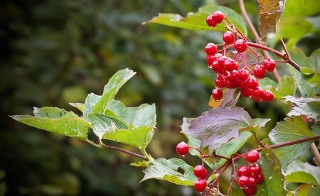 guelder rose berry: Red viburnum berries on the bush branch Stock Photo