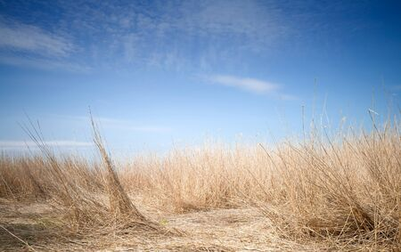 uncommon: Uncommon fantastic landscape with deep blue sky and coastal dry reed