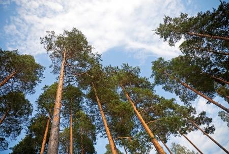 arbol de pino: Mirando hacia arriba en el bosque de pinos Foto de archivo