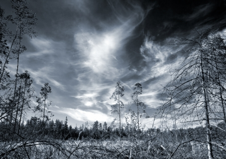 Dark paludal forest with dramatic sky  Monochrome photo for bogeyman stories illustrations illustration