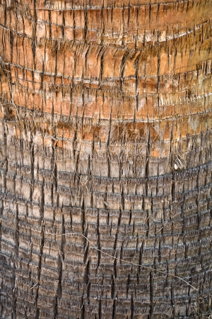 Palm tree cortex detailed closeup texture Stock Photo - 15840925
