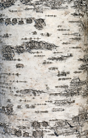 bark background: Birch bark closeup photo texture Stock Photo