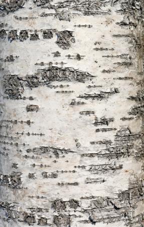 birch bark: Birch bark closeup photo texture Stock Photo