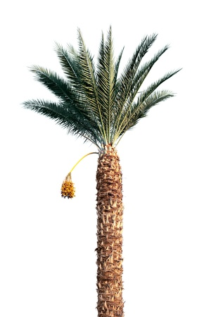 Bright date-palm tree isolated on white background photo
