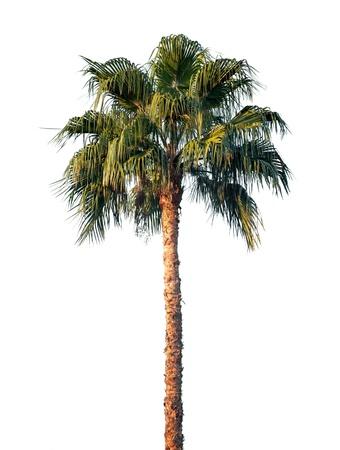 Bright palm tree isolated on white background photo