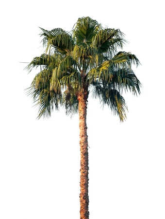 date tree: Bright palm tree isolated on white background