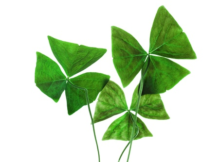 Original sharp decorative oxalis leaves isolated on white photo