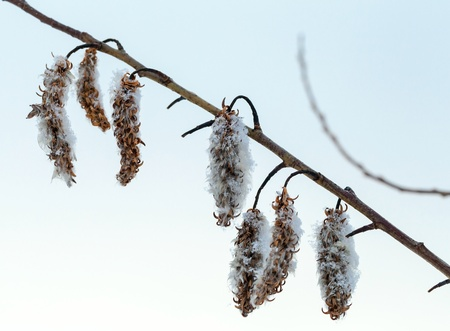 Winter nature fragment. Dry flowers on sallow bush covered with ice and snow photo