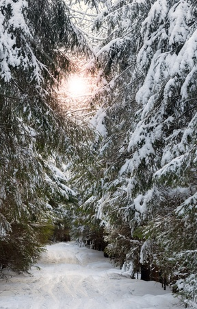 Snowy lane with skiing tracks in cold winter forest; photo