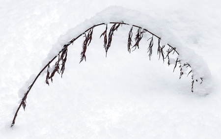 Winter nature fragment, arc of dry frozen grass covered with snow; photo