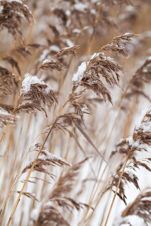 Dry coastal reed cowered with snow, vertical nature background photo