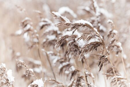 Dry coastal reed cowered with snow, nature background photo