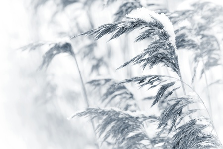 Dry coastal reed cowered with snow, monochrome nature background photo