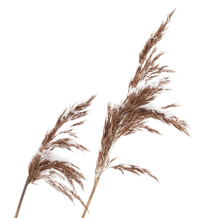 Macro photo of dry coastal reed cowered with snow isolated on white photo