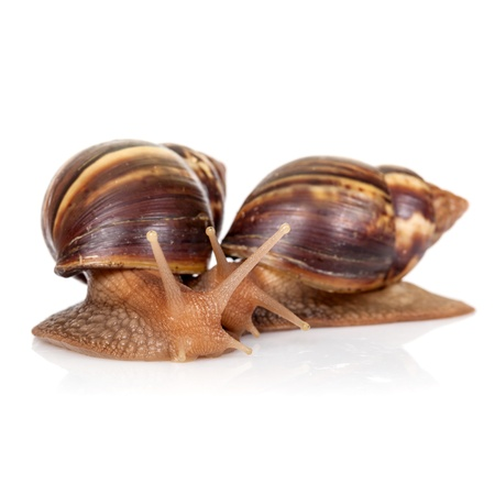 Two snails isolated on white, closeup photo Stock Photo