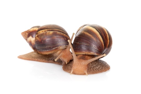 Two snails isolated on white background, closeup photo photo