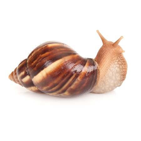 Big brown snail on white background, macro photo Stock Photo - 17840752