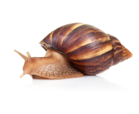 Big brown snail crawls on white background Stock Photo - 17840751