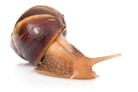 mollusc: Macro photo of big brown snail crawls on white background
