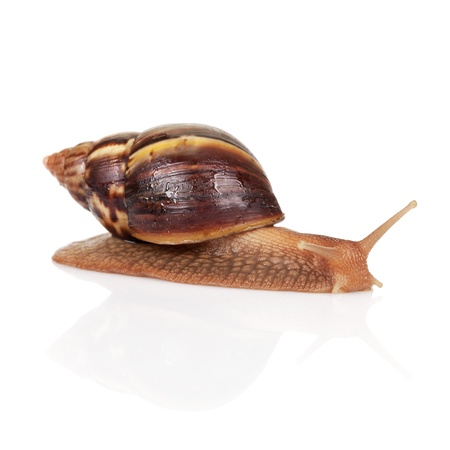 Big brown snail crawls on white background, closeup photo Stock Photo - 17840755