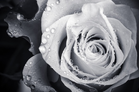 anniversary flowers: Wet white rose flower monochrome close-up photo with shallow depth of field Stock Photo
