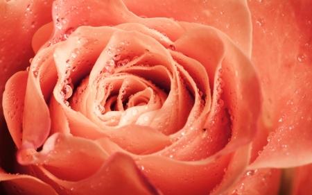 Wet orange rose flower macro photo with shallow depth of field photo