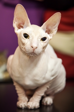 White Don Sphinx cat closeup portrait Stock Photo - 18146399