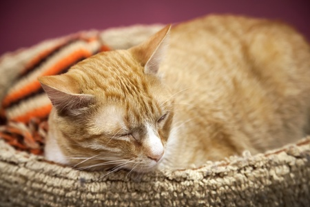 shorthaired: Fun red short-haired cat sleeps with comfort on the bed Stock Photo