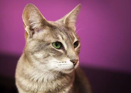 shorthaired: Brown gray short-haired cat closeup portrait