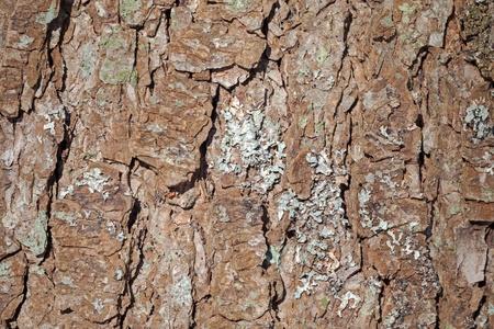 Detailed pine tree bark with lichen background texture