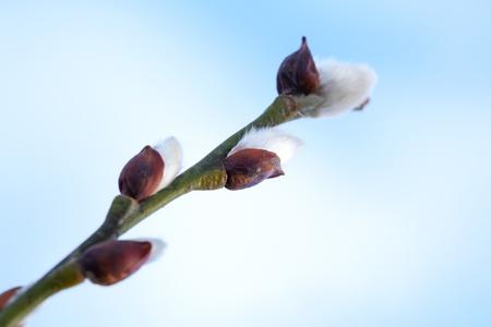 sallow: Spring branch macro fragment. Soft flowers on sallow bush Stock Photo