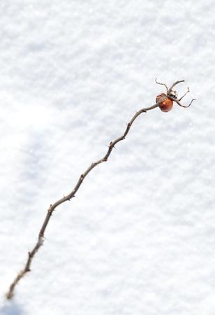 snowbound: Frozen red rosehip berry on dry branch if front of snowbound