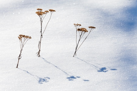 Three frozen dry flowers with shadows on snow photo