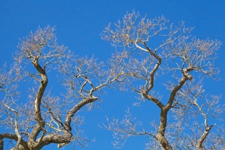 Old leafless trees branches above blue sky in winter season photo