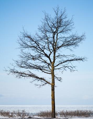 silhouette arbre hiver: silhouette d'arbre d'hiver sur la c�te de la mer Baltique Banque d'images