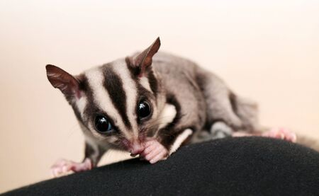 arboreal: Eating sugar glider  Petaurus breviceps   Small, omnivorous, arboreal gliding possum Stock Photo
