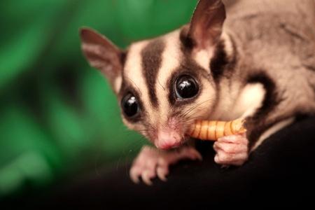 possum: The sugar glider  Petaurus breviceps  eats beetle larva  Small, omnivorous, arboreal gliding possum