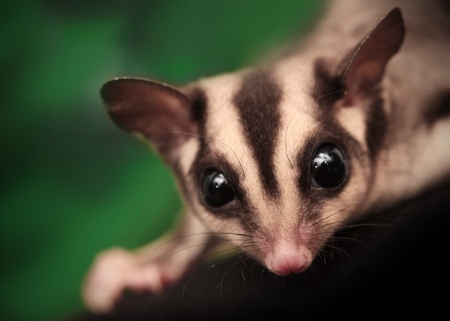 arboreal: Closeup portrait of small  sugar glider  Petaurus breviceps   Omnivorous, arboreal gliding possum Stock Photo