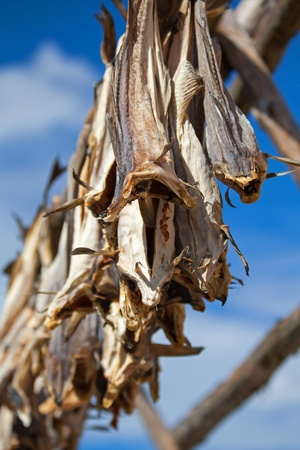 cod fish: Norwegian traditional stockfish outdoor drying on the sun above blue cloudy sky