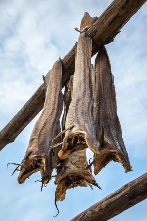 stockfish: Norwegian traditional stockfish outdoor drying