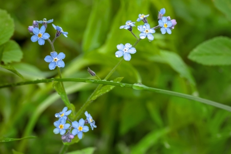 Wet Forget me not flowers in spring forest photo
