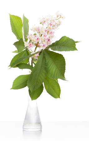 Chestnut flower with leaves in glass vase worth above white background photo