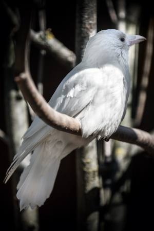 White albino crow sits on tree in the forest Classical Russian metaphor of unusual